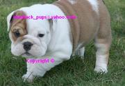 SPUNKY ENGLISH BULLDOG PUPPIES FOR ADOPTION