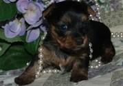 Tiny Toy Yorkie Puppies AKC & UKC registered.