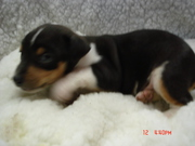 Registered Rat Terrier Puppies for Sale