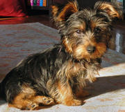 NIce Looking Yorkshire Terrier Puppies For Sale