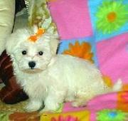 cute Affectionate Teacup Maltese Puppies for adoption