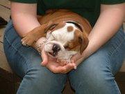 Gorgeous Akc X-mas English Bulldog Puppy for Adoption