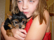 CUTE AND ADORABLZ YORKIE PUPPIES TO GOOD HOMES